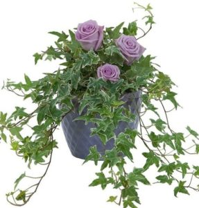 A lush ivy plant in a ceramic container accented with lavender roses